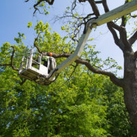 Gardener is trimming tree on elevated platform